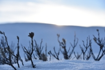 Salix in the snow, Dovre, Norway